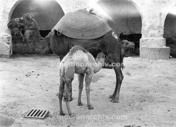 Afrika. 1932. Kamelstute mit Jungen